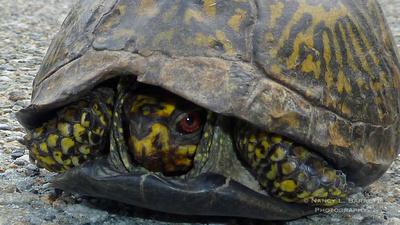 Box Turtle_103 16x9