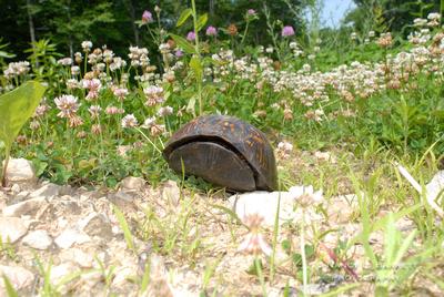 Turtle June 07 (1) H062007