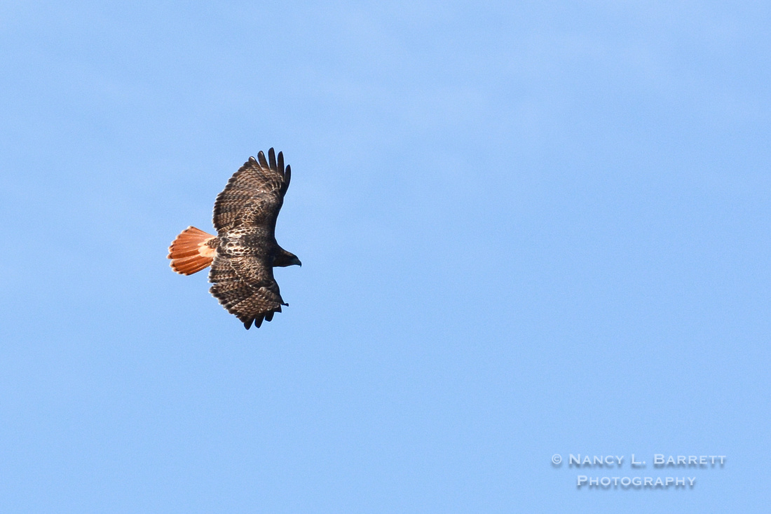 Red-tailed Hawk-3990-3