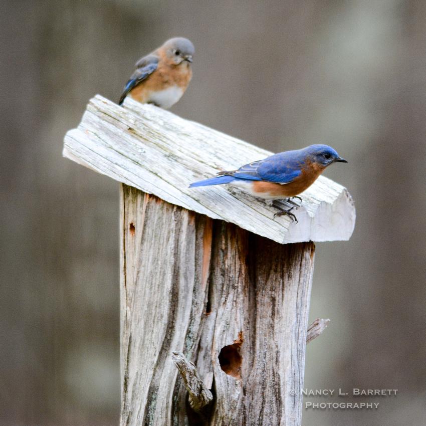 Bluebirds-4029-1