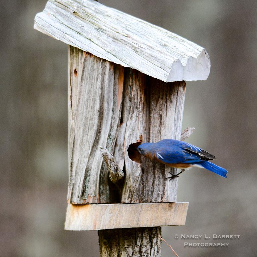 Bluebirds-4030-2