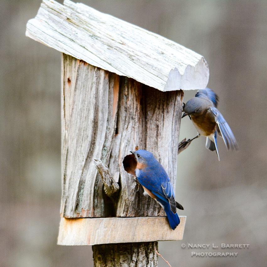 Bluebirds-4032-4