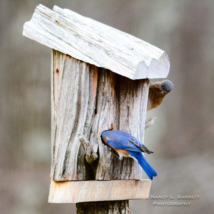 Bluebirds-4031-3