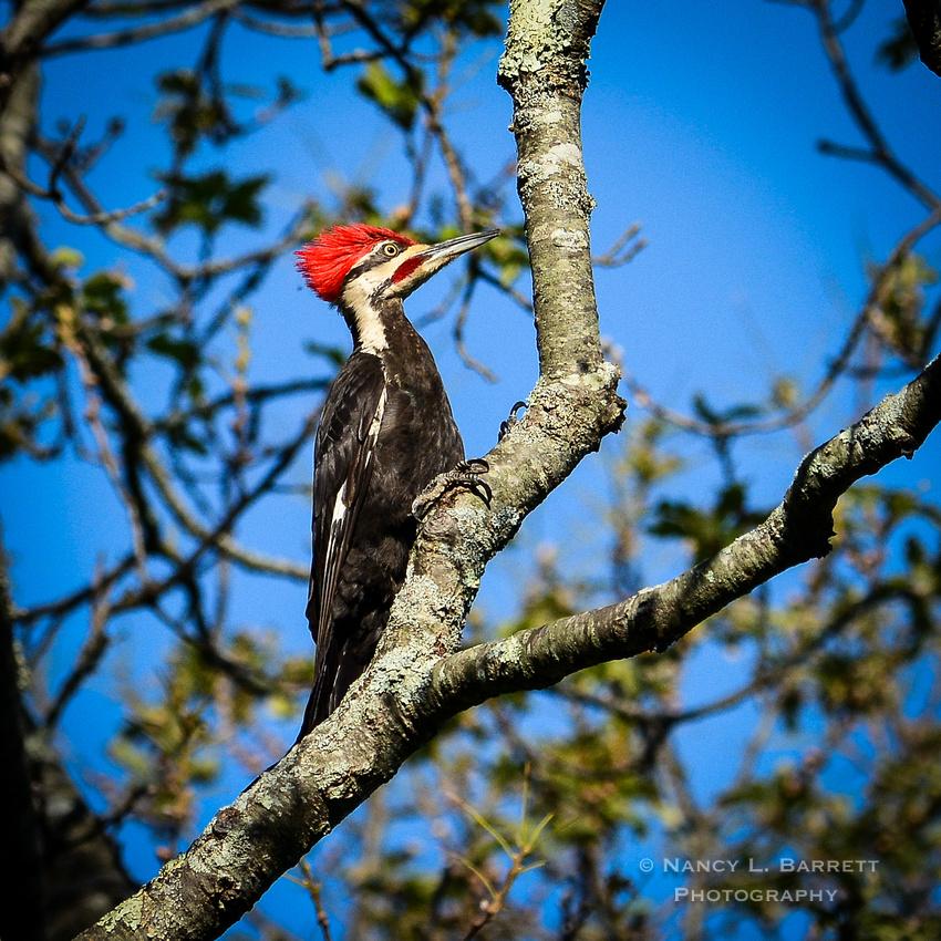 Pileated Woodpecker-67 MOD 1 1