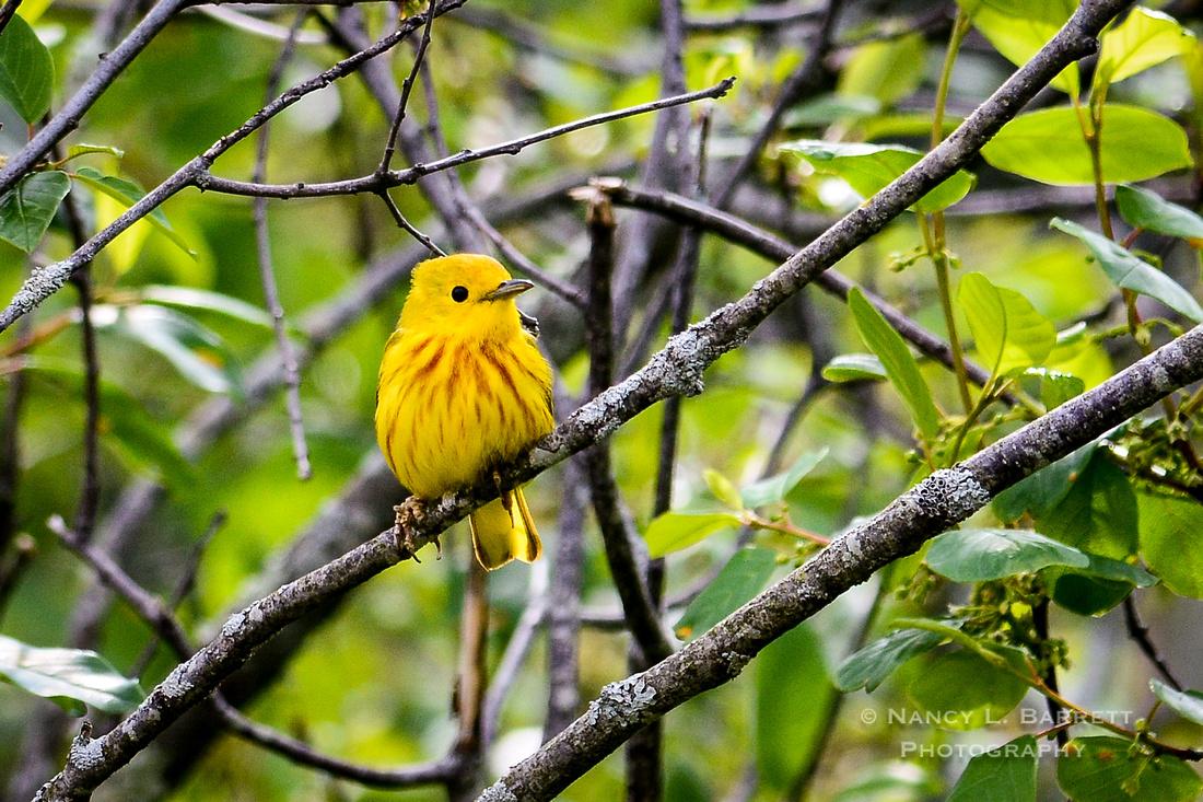 Yellow Warbler-6 MOD 3 2