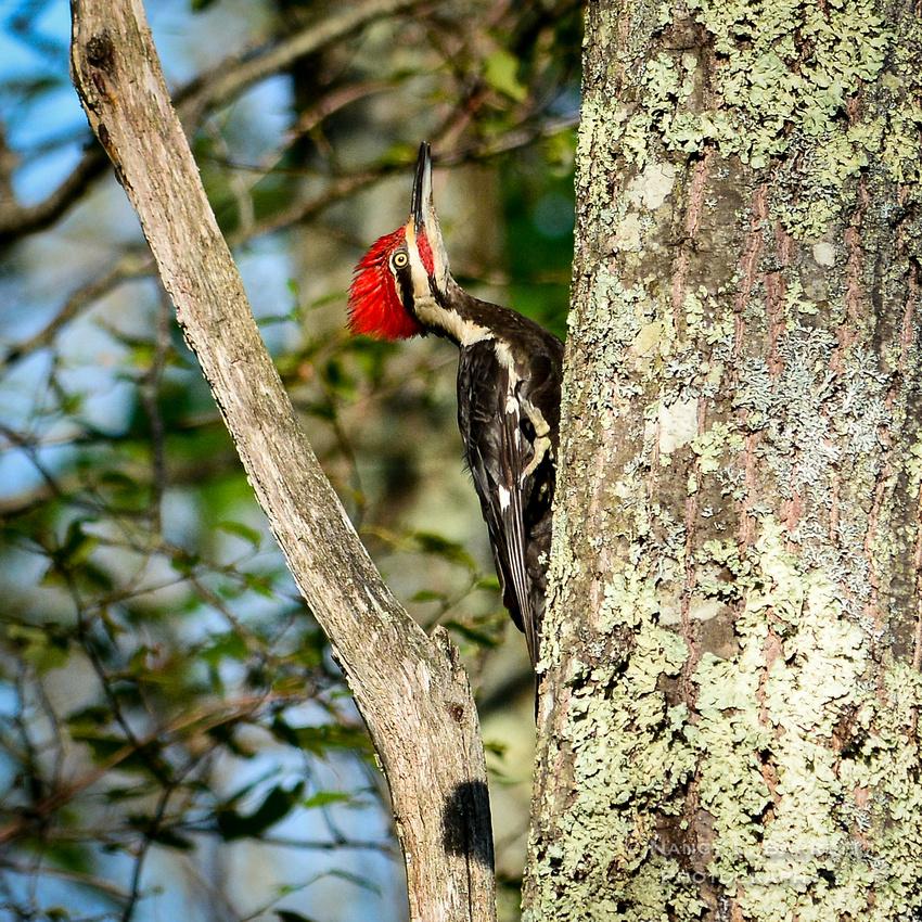 Pileated Woodpecker-29 MOD 1 1