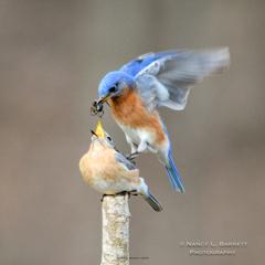 Spring Birds-121-Edit 10x10 150 WM thumb