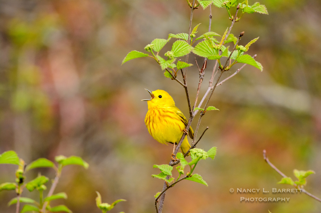 Yellow Warbler at the Five Mile River