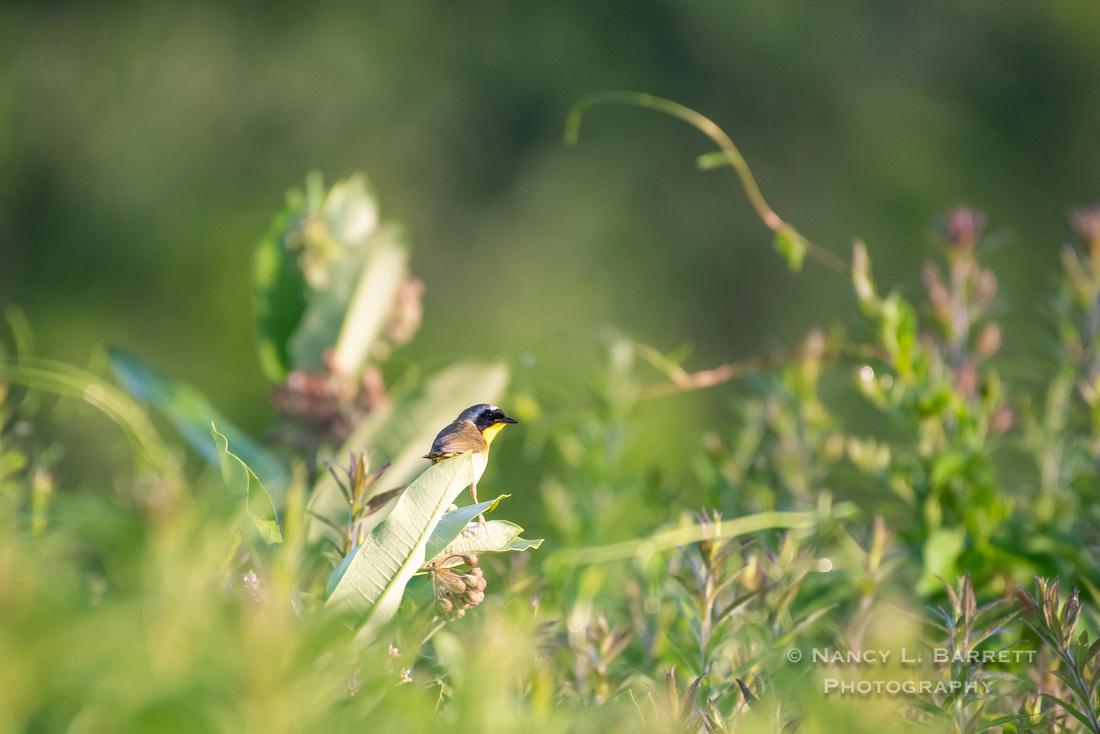 Common Yellow-throat at Bafflin Sanctuary