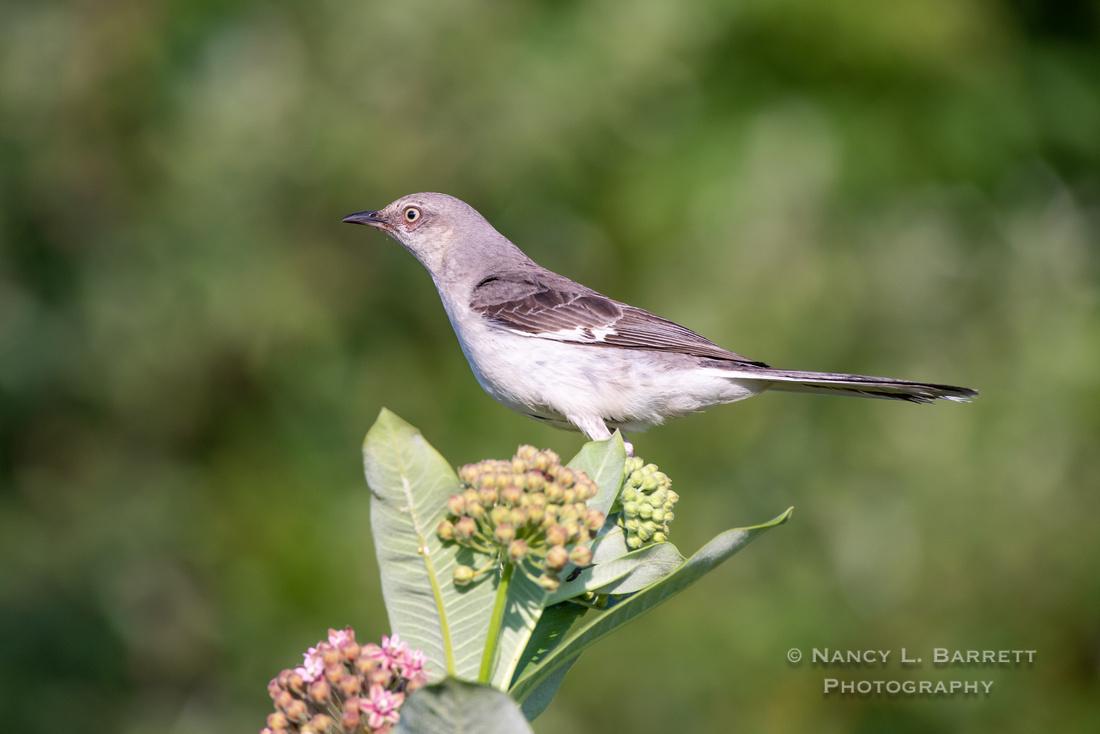 Northern Mockingbird on Milkweed