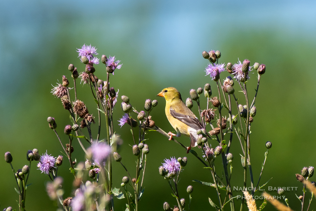 American Goldfinch on Knapweed Flowers
