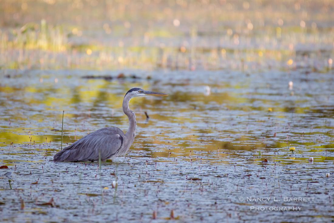 Great Blue Heron at Middle Reservoir 1
