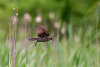 Red-winged Blackbird at Day Brook