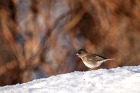 Dark-eyed junco AKA Snowbird