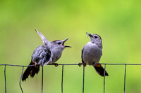 Gray catbirds on Fence