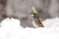 White-throated sparrow in April Snow